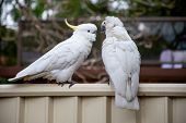 Sulphur-crested Cockatoo On A Fence Close To Another Cockatoo Suffering From Psittacine Beak And Fea poster