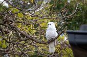 Sulphur-crested Cockatoo Seating On A Branch Of Jacaranda Tree. Urban Wildlife. Australian Backyard poster