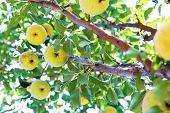 Paradise Apples Close-up. Paradise Apples Hang On A Tree Branch. Apple Tree Plum. Chinese Apple Frui poster