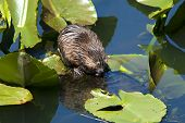 foto of muskrat  - A muskrat rests on a lily pad while eating - JPG