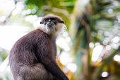 A Purple Faced Langur (trachypithecus Vetulus) Which Is Endemic To Sri Lanka And Critically Endanger poster