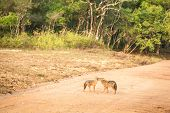 Couple Of Golden Jackal, Canis Aureus On The Road In Yala National Park, Sri Lanka, Asia. Beautiful  poster