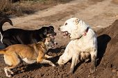 Fight Dogs. A Dog Bites Another Dog. Aggressive Dog. Fghting Alabay And Stray Dogs. poster