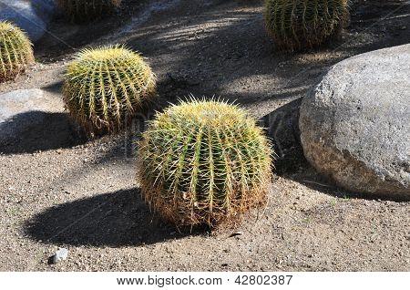 Cactus ball