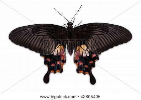 Female Common Mormon (papilio Polytes Romulus) Butterfly