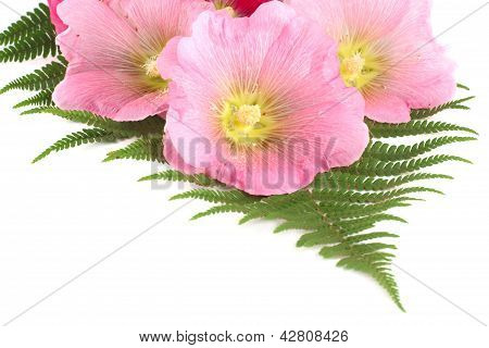 Flowers mallows and fern isolated