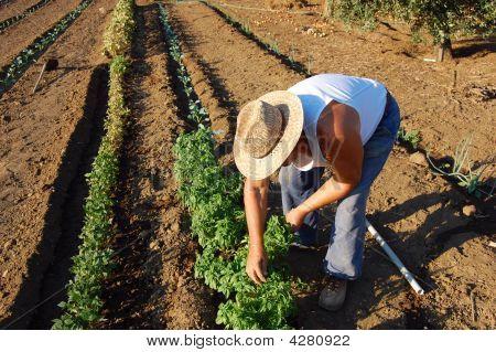 Farmer With Straw Hat Picking Summer Garden Vegetables In Field