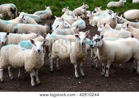 Flock of sheep at a farmyard
