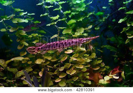 Florida Gar Fish