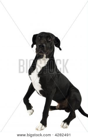 Great Dane With Leg Up