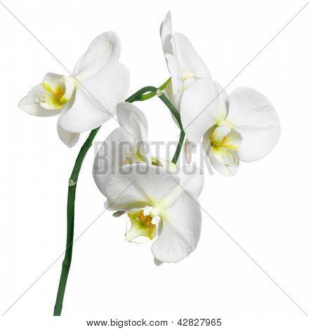 Orchid white phalaenopsis beautiful background, flowers isolated on white