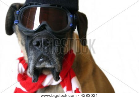 Dog With Snow Goggles