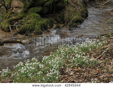 Snowdrops by River Avill
