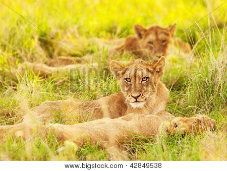 Photo of an African lion cubs , South Africa safari, Kruger National Park reserve, wildlife safari, cute small lioness child, exotic wild nature, mammal wild animal family lying down on green grass