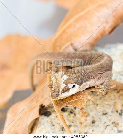 Brown Gecko close-up