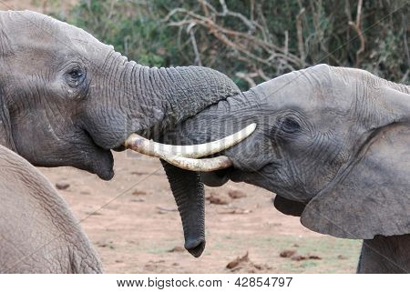 African Elephant Tussle