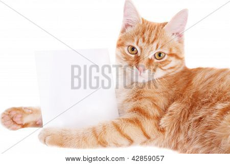 Ginger cat with a white sheet