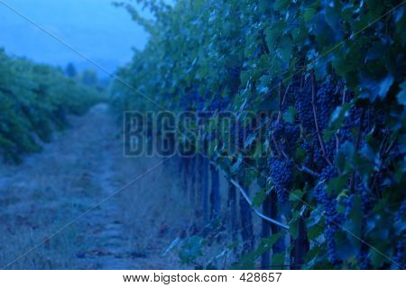 Evening In The Vineyard