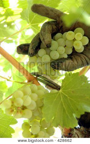 Cosecha Chardonnay