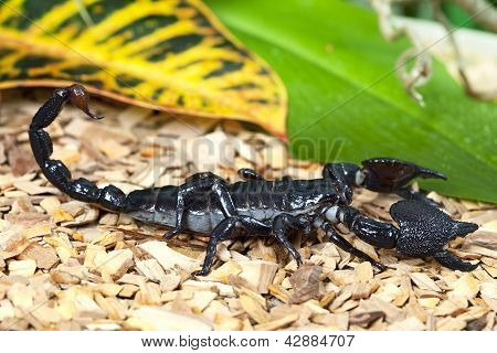 Black Emperor Scorpion In Wildlife
