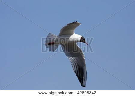 Pewit, pee-wit, gull flying in the blue sky.