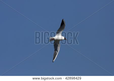 Pewit, peewit, gull flying in the blue sky.