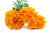 marigolds isolated on white