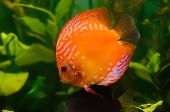 pic of diskus  - Orange discus fish in the aquarium with plants - JPG