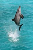 stock photo of bottlenose dolphin  - A bottlenose dolphin leaping out of the blue water in joy - JPG