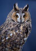 stock photo of screech-owl  - Portrait of Long - JPG