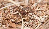 stock photo of fiddleback spider  - Brown Recluse - JPG