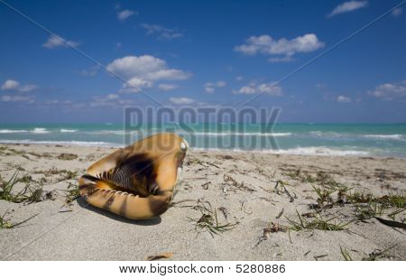 Coquilage On The Beach In Cuba