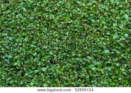 Close-up Privet Hedge