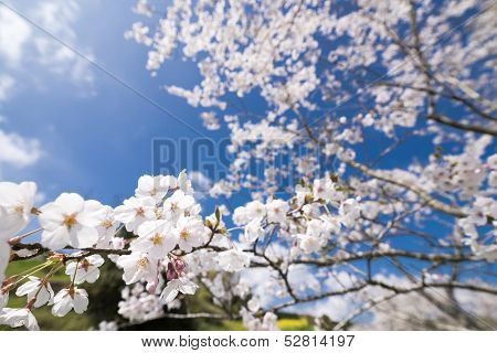 Yoshino cherry blossoms