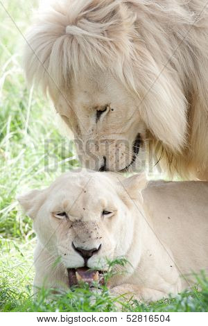 White Lions Mating