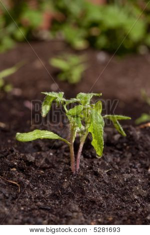 New Tomato Sprout In Soil With Water Drops Gardening