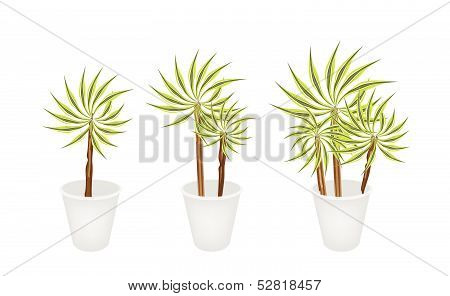 Beautiful Dracaena Plant In Three Flower Pot