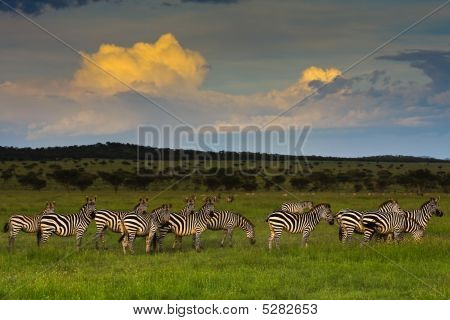 Zebra Herd At Sunset