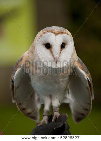 Portrait Of A Barn Owl (tyto Alba) Ready For Flight