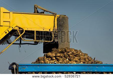 Sugar beet loading