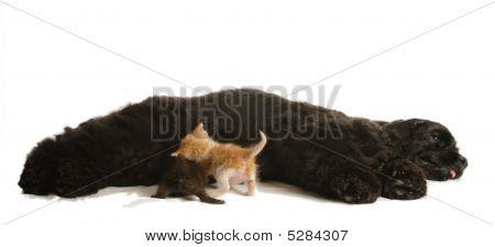 Cocker Spaniel Dog Nursing Kittens