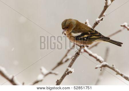 Female Chaffinch Bird Winter