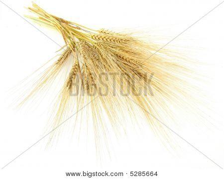 Barley_1