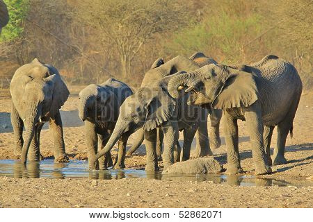 Elephant, African - Wildlife Background from Africa - Kindergarten drinking time with young trunks