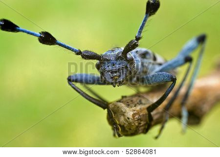 Rosalia Alpina - Protected Beetle