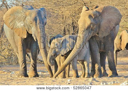 Elephant, African - Wildlife Background from Africa - Generations of Trunks in the Family