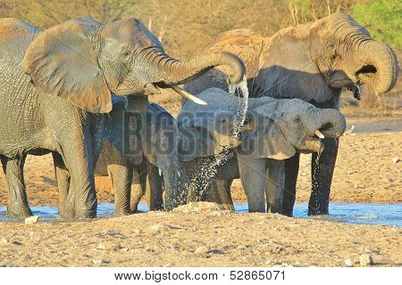 Elephant - Wildlife Background from Africa - Cool Water and Curled trunks