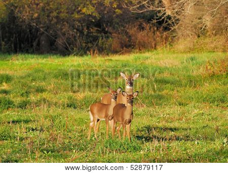 Young Whitetail Deer Buck