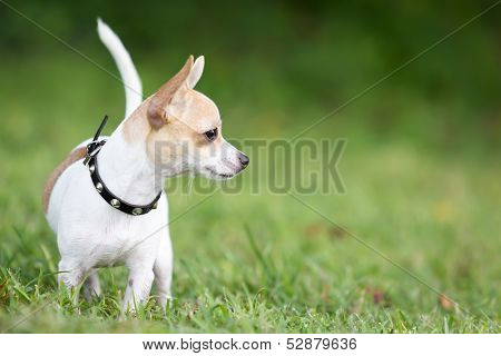 Small chihuahua dog standing on a green grass park with a shallow depth of field