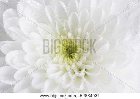 Close Up Of Single White Dahlia With Water Droplets